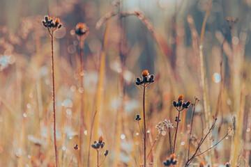 Obraz dzika łąka, trawy o świcie z rosą - fototapety do salonu