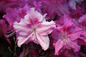 Pink Rhododendron azalea flowers