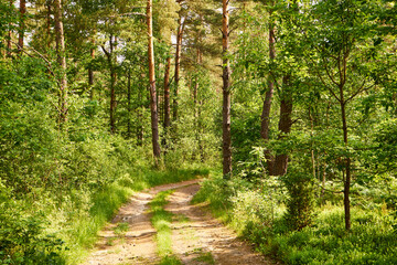 summer forest road,path, forest path