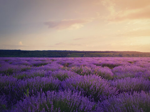 Picturesque view of blooming lavender field. Beautiful purple pink flowers in warm summer sunset light. Fragrant lavandula plants blossoms in the meadow