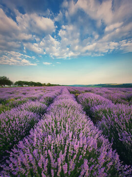 Picturesque scene of blooming lavender field. Beautiful purple pink flowers in warm summer sunset light. Vertical view, fragrant lavandula plants blossoms in the meadow