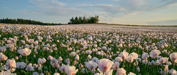 Obraz White poppy field under sunset light - fototapety do salonu
