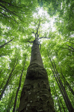 Looking up at a beautiful mature high tree in a dense forest