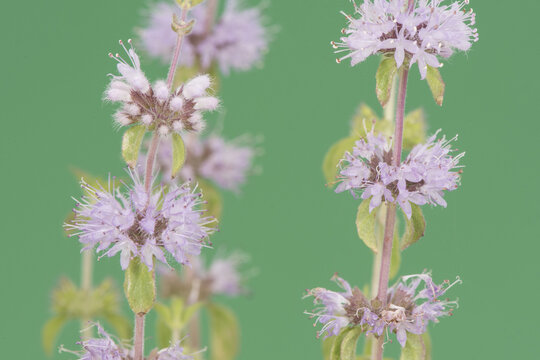 Mentha pulegium pennyroyal poles of light purple or pink flowers with long whitish stamens on a homogeneous deep green background