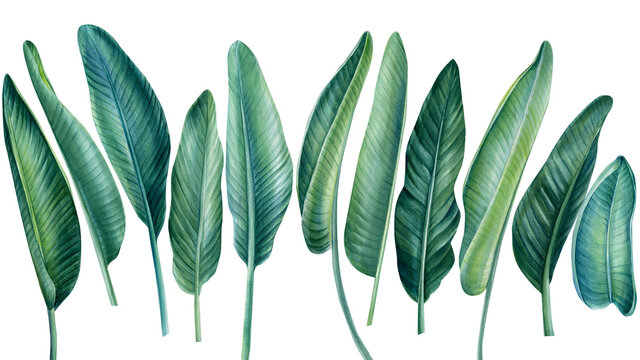 Tropical set, palm leaves on isolated white background, watercolor botanical illustration, green jungle plants