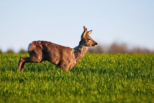 Roe deer male running on field ( Capreolus capreolus ). European roe