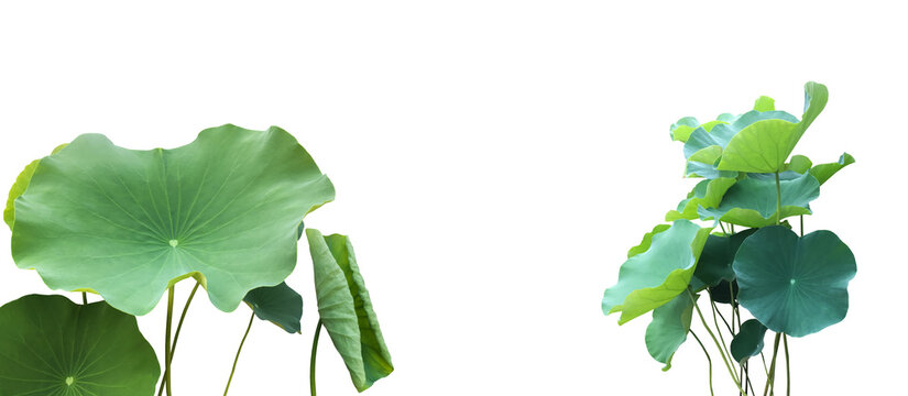 waterlily leaves isolated on white background with clipping paths.