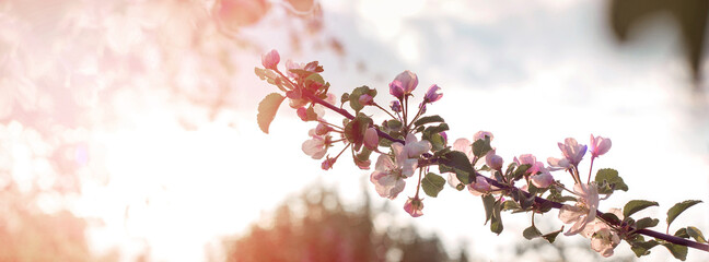 Postcard, the basis for the banner, invitation. Long wide banner. Background, avatar. Blossoming branch of an apple tree in a twisted backlight at sunset time. It is possible to place text.