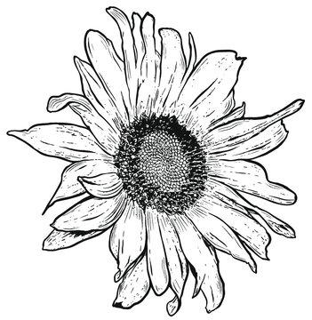 Filigrane Sonnenblume. Botanische Vektor Natur Zeichnung. Sommer Design.