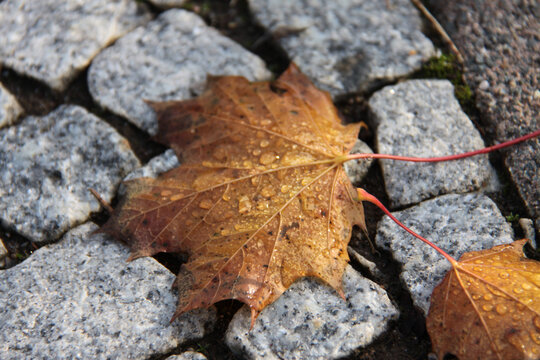 Nasses Ahornblatt auf Kopfsteinpflaster