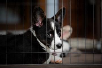 Fototapeta Welsh Corgi Cardigan cute fluffy dog puppy. obraz