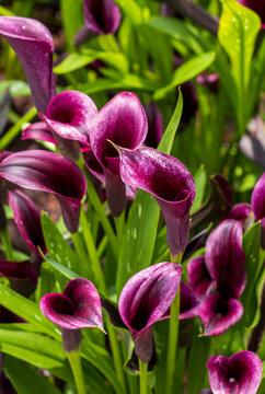 Beautiful Purple Cali Lily