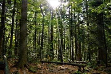 Obraz Las, drzewa, natura, zieleń - fototapety do salonu