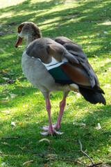 Fototapeta Dzika kaczka spacerująca we frankfurckim parku obraz