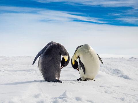 Emperor Penguins (Aptenodytes forsteri) on sea ice, Weddell Sea, Antarctica