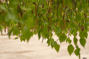 background of birch leaves with buds on the branches. Birch tree, leaves, buds, spring, background,...