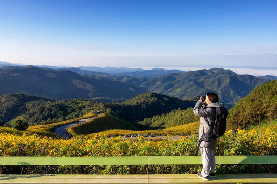 Young woman photographs a Mexican sunflower field, beautiful yellow flowers on the mountain. Doi Mae U Kho, Mae Hong Son Province.  Thailand.