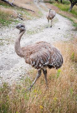 Nandou de Darwin, Rhea pennata, oiseaux géant