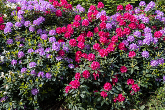 Purple, blue and red rhododendron flowers in sunlight.Shot in Sweden, Scandinavia