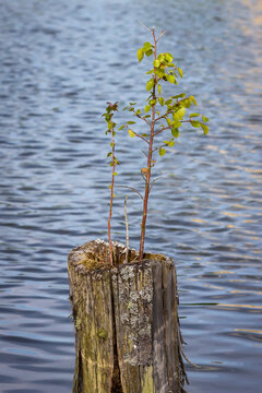 Small birch tree growing on a wooden pole in a river.Shot in Sweden, Scandinavia