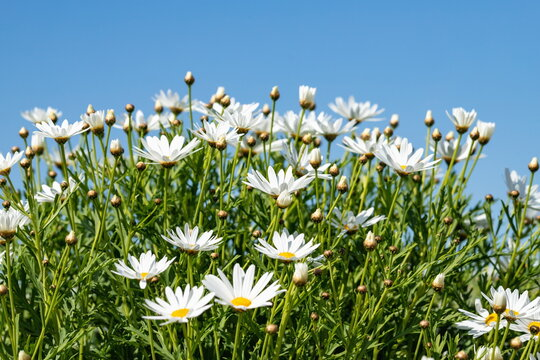 White Marguerite flowers against blue sky at shonai peninsula , mitoyo city, kagawa, shikoku, japan