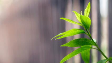 Zdrowy zielony liść, liście na rozmytym tle.