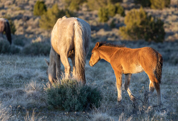 Obraz Wild Horse Mare and Foal in the Utah Desert - fototapety do salonu