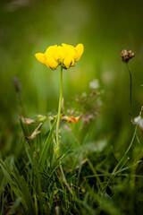 Obraz Żółty kwiat na łące - fototapety do salonu