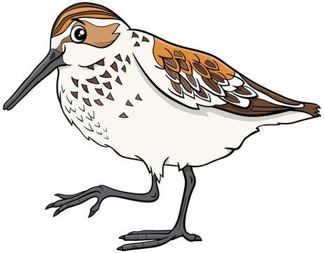 cartoon western sandpiper bird comic animal character