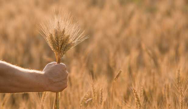 A man holds golden ears of wheat against the background of a ripening field. Farmer's hands close-up. The concept of planting and harvesting a rich harvest. Rural landscape at sunset.