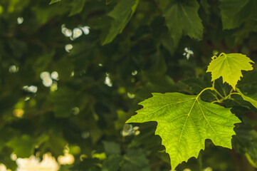 Obraz Young maple leaves on a summer afternoon in a city park. - fototapety do salonu