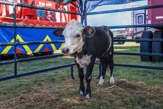 State Fair Cow
