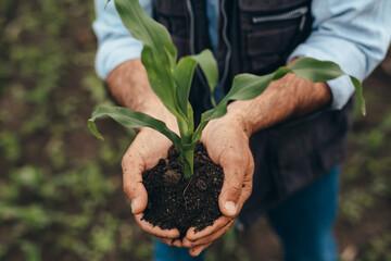 Fototapeta close up senior man holding corn plant obraz