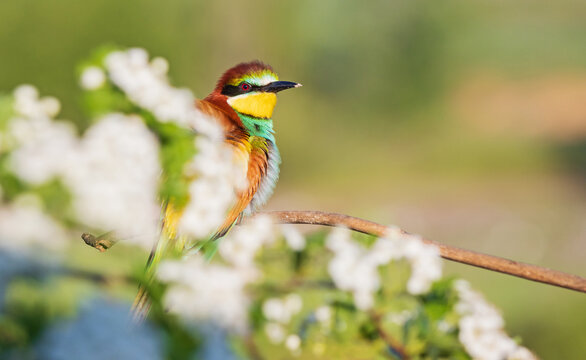 bee-eater sits on a flowering branch