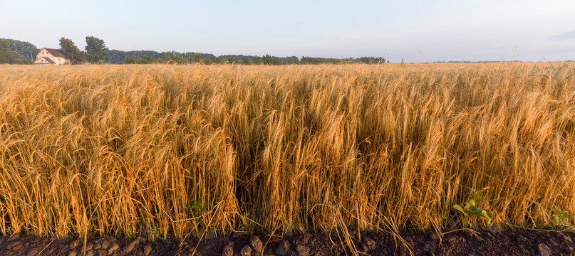 Ripe yellow barley. Field with grain.
