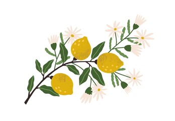 Fototapeta Blooming lemon tree branch with yellow citrus fruits, blossomed flowers and leaves. Plant with ripe fruitage. Modern botanical flat graphic vector illustration isolated on white background obraz