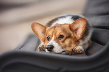 Fototapeta A pensive welsh corgi pembroke lying on a black wooden bench with his head resting on his paws against the backdrop of the cityscape obraz