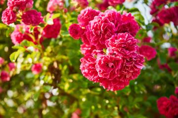 Fototapeta fine petals red rose, obraz