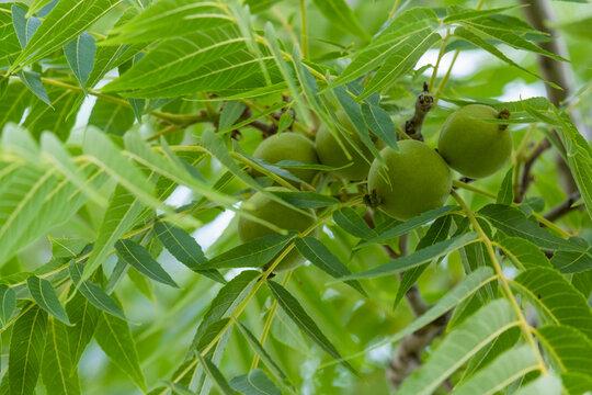 Japanese green walnut. Green walnut on the tree.