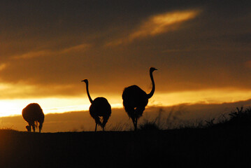 Africa- Close Up Silhouettes of Three Wild Ostriches in the Bright Sunrise