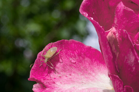 Close-up of a green bug on a pink flower
