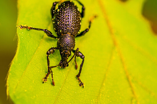 Closeup shot of a weevil insect on a green leaf