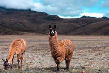 Cotopaxi National Park, Ecuador. llama in the mountains