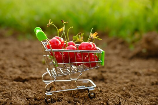 a red ripe cherry in a trolley of cherries. A cart with cherries stands on the ground against a natural green background in the garden .Summer vitamin C fruits ,fruits in supermarket ,juice