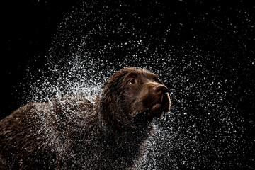 Obraz Water splashes. Portrait of chocolate color big Labrador dog playing, bathing isolated over dark background. Beauty and grace. - fototapety do salonu