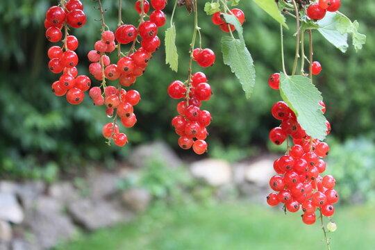 Rote Johannisbeeren hängen am Strauch