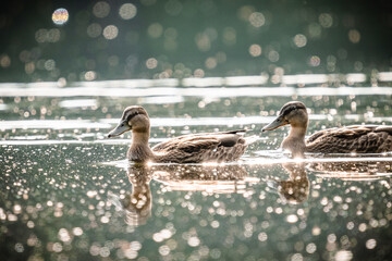 Obraz Couple of ducks floating on the water surface. - fototapety do salonu