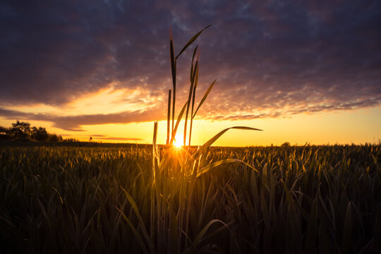 The summer sun rising over a crop field. Rural scenery during sunrise. Summertime scenery of Northern Europe.