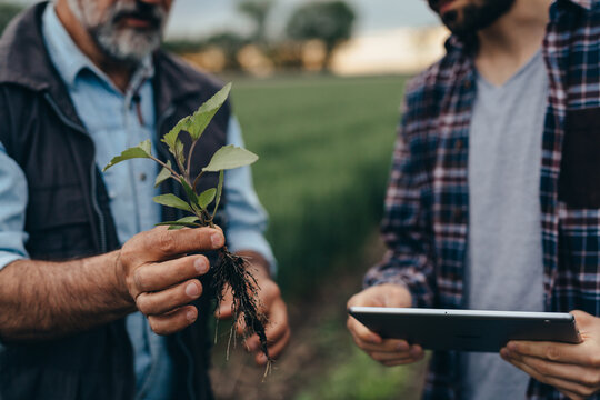 agricultural workers examining weeds on corn field