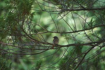 Fototapeta Ptak pleszka ,pleszka ,pleszka samiec ,ptak na gałęzi ,młody ptak obraz